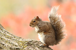 Squirrel in autumn Stock Images