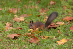 Squirrel in the autumn Stock Photography
