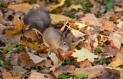 The squirrel in the autumn Royalty Free Stock Photography