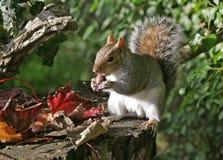 Squirrel in Autumn. Grey Squirrel sat on an old tree stump enjoying a chestnut in Autumn Stock Photos