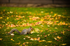 Squirrel and the Autumn colors. Autumn colors - Backlit Leaf Abstract Royalty Free Stock Photography