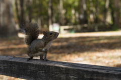 Squirrel autumn day in the US National Parks. The squirrel autumn day in the US National Parks Royalty Free Stock Photo