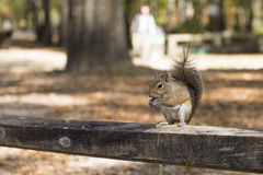 Squirrel autumn day in the US National Parks. The squirrel autumn day in the US National Parks Stock Photo