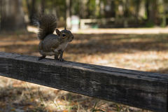 Squirrel autumn day in the US National Parks. The squirrel autumn day in the US National Parks Stock Photography