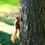 Squirrel in the autumn forest Royalty Free Stock Image
