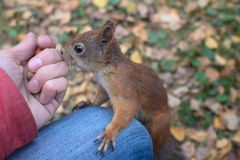 Squirrel in the autumn forest Stock Photography