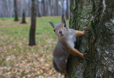 Squirrel in the autumn forest Stock Photo
