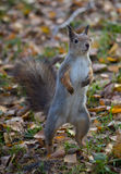 Squirrel in the autumn forest Stock Image