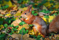Squirrel in autumn forest Stock Photography