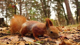 Squirrel in the autumn forest stock video