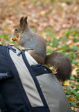 Squirrel in the autumn forest Stock Images