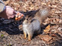 Squirrel in the autumn foliage takes the nuts from the woman`s hands royalty free stock images