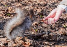 Squirrel in the autumn forest park royalty free stock photo