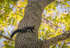 Squirrel. Stock Photography