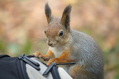 Squirrel in the autumn forest Stock Photos