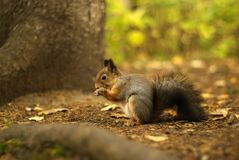 Smiling squirrel eating lunch royalty free stock photography