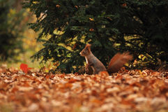 Squirrel in autumn on the ground. Squirrel in autumn ground with tree on background Stock Photography