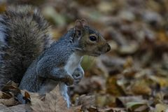 Squirrel and autumn leafs royalty free stock image