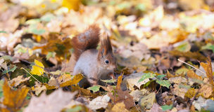 The squirrel on autumn leaves Stock Images