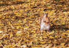 Squirrel and the autumn leaves Stock Photos