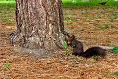 Squirrel in the autumn mood. Dark squirrel with a nut, near a tree Royalty Free Stock Images