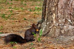 squirrel in the autumn mood. Dark squirrel with a nut, near a tree royalty free stock image