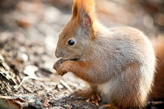 Squirrel in autumn park Royalty Free Stock Photo