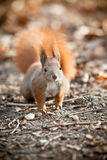 Squirrel in autumn park Royalty Free Stock Photos