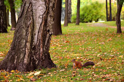 Squirrel in the autumn park Royalty Free Stock Photography