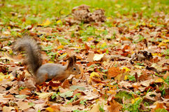 Squirrel in the autumn park Royalty Free Stock Photo