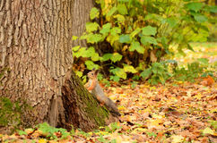 Squirrel in the autumn park Royalty Free Stock Image