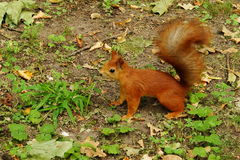 Squirrel in the autumn park. Royalty Free Stock Photos