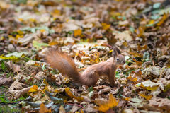 Squirrel in autumn Park Royalty Free Stock Photography