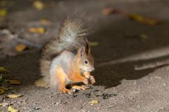 Squirrel eats sunflower seeds stock images