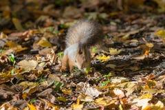 Squirrel in autumn park stock photos