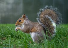 Squirrel in autumn park forest. Autumn squirrel portrait royalty free stock photos