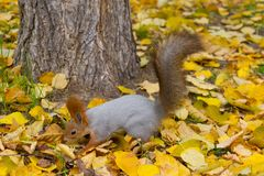 Squirrel in autumn park forest stock image
