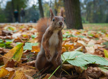 Squirrel in the autumn park. Royalty Free Stock Photo