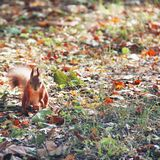 Squirrel in the autumn park stock photography