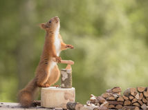 Squirrel with an axe looking up. Red squirrel with an axe and pile of wood looking up Royalty Free Stock Image