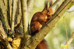 Squirrel b. Squirrel in a tree with sunlight Royalty Free Stock Image