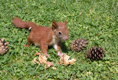 Squirrel baby Stock Photography