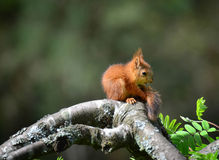 Squirrel. Baby sitting on tree and lookin tail Royalty Free Stock Photo
