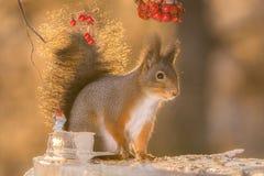 Squirrel back light Stock Image
