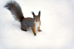A squirrel background. Stock Photo