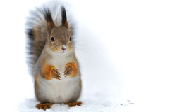 A squirrel background. Stock Image