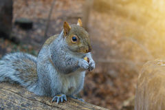 Squirrel is on background  in autumn forest. Squirrel on a tree eating nuts.Close up of park animals. Hungry squirrel comes around to get free peanuts Royalty Free Stock Photography