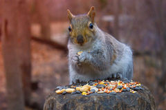 Squirrel is on background  in autumn forest. Squirrel on a tree eating nuts.Close up of park animals. Hungry squirrel comes around to get free peanuts Royalty Free Stock Photos