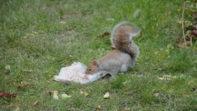Squirrel and bag of nuts stock footage