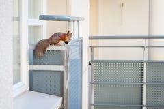 Squirrel on a balcony Stock Photos